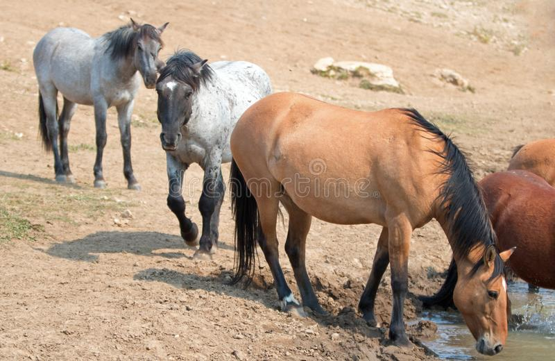 Dun Buckskin mare drinking water with herd small band of wild horses at the waterhole in the Pryor Mountains Wild Horse Range in. Montana United States royalty free stock image
