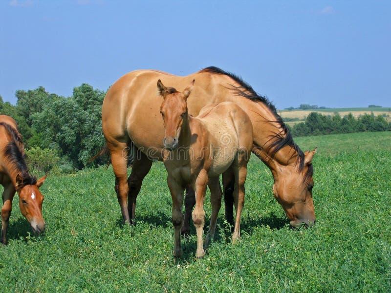 dun foal τέταρτο αλόγων στοκ εικόνες
