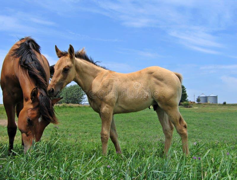 Download Dun Quarter Horse Foal Stock Photo - Image: 1496400