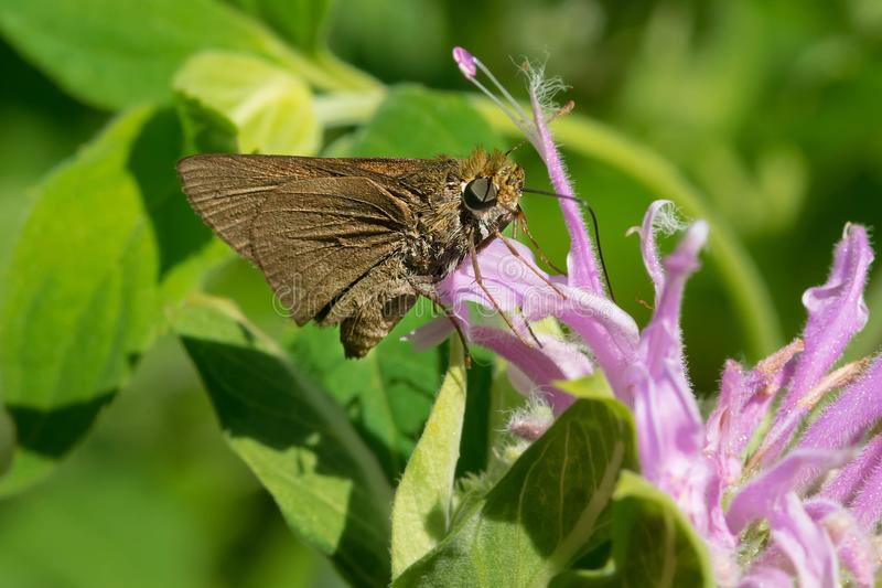 Dun Skipper Butterfly - Euphyes vestris. A Dun Skipper Butterfly is collecting nectar from a purple Wild bergamot flower. Also known as a Sedge Witch Butterfly stock images