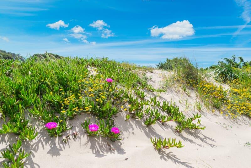 Duna de areia com as flores em Sardinia fotos de stock