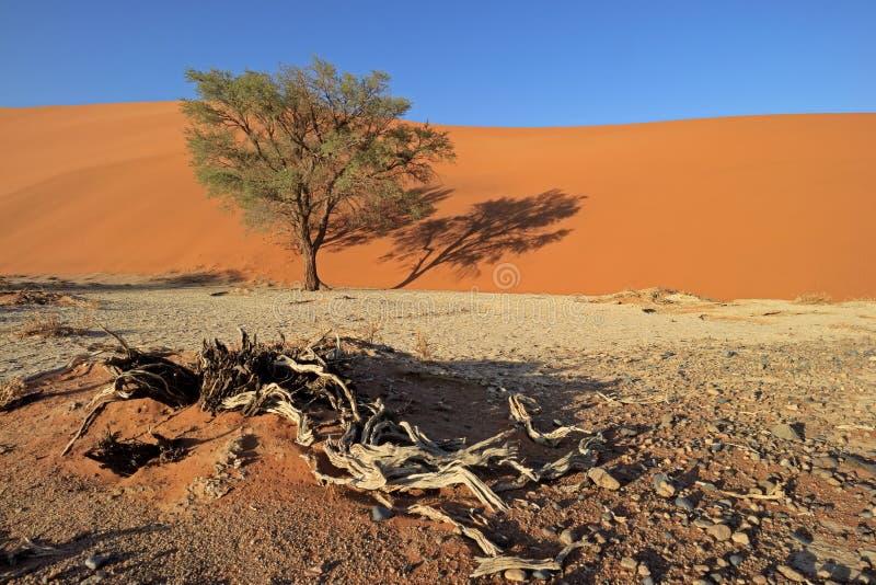 Duna de areia e árvore - deserto de Namib fotos de stock royalty free