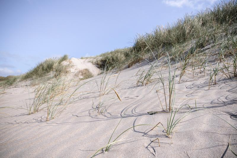 Duna de arena en el verano con la hierba de lyme fresca foto de archivo libre de regalías