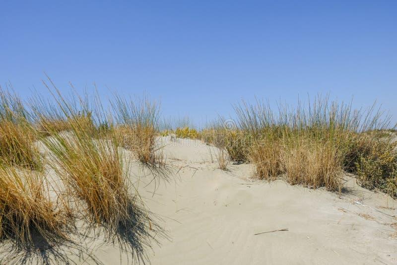 Duna de arena salvaje natural con el crecimiento de las hierbas fotografía de archivo