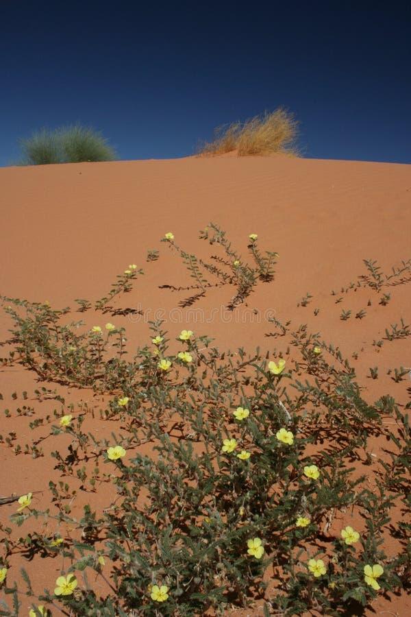 Duna della Kalahari immagini stock