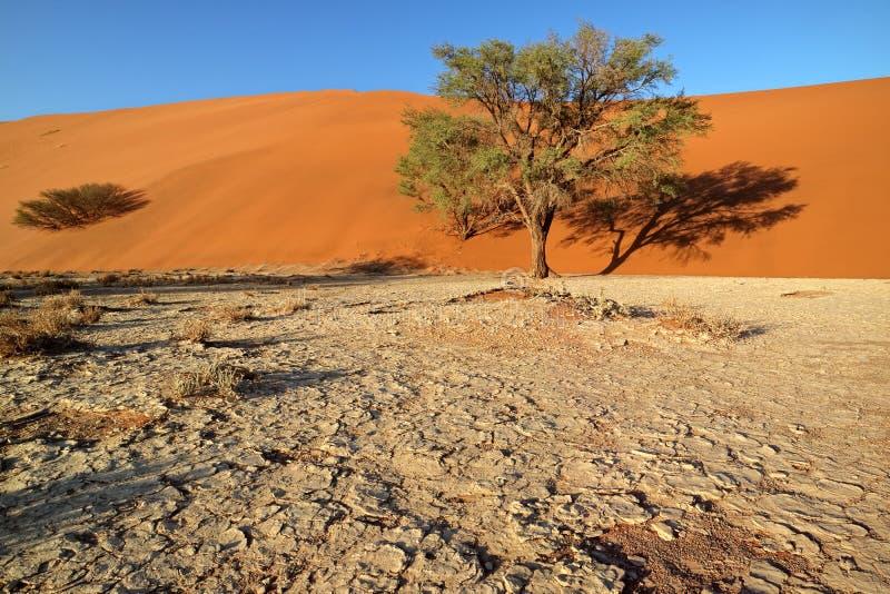 Duna di sabbia ed alberi - deserto di Namib fotografia stock