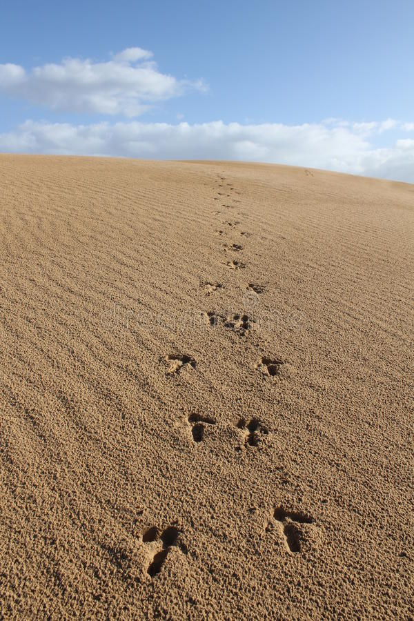 Dunas de arena con huellas del emu imagen de archivo
