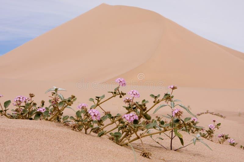 Dunas e wildflowers de Death Valley imagens de stock royalty free