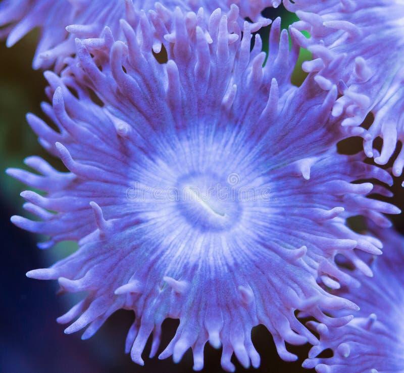 Duncan Coral Polyp Macro foto de archivo libre de regalías