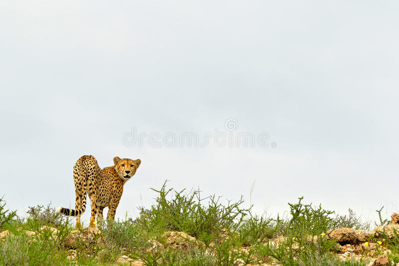 Dune Cheetah royalty free stock images