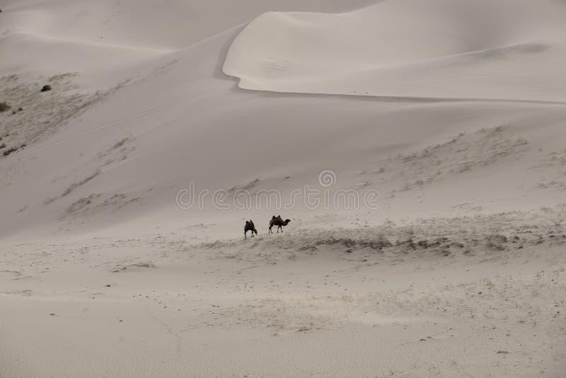 Dune di sabbia di bactrianus del Camelus dei cammelli sull'orizzonte fotografia stock