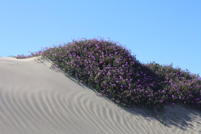 Dune di sabbia con i fiori nella baia California di Morro fotografie stock libere da diritti