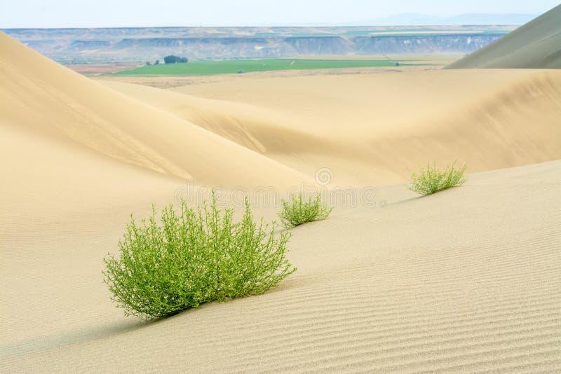Dune di sabbia del deserto con le piante fotografie stock