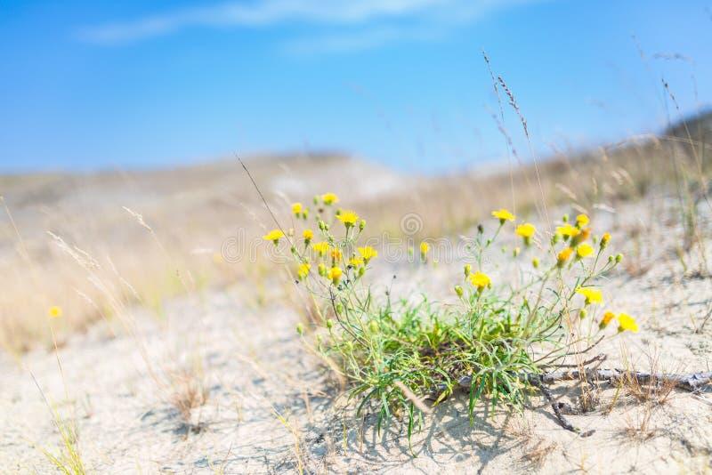 Dune di sabbia dello sputo di Curonian anche conosciuto come fotografia stock