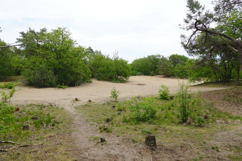 Dune di sabbia e della foresta nei Paesi Bassi immagine stock libera da diritti