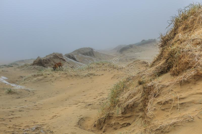 Misty dune landscape with by wind carved wind holes against a background with grey fog. Dune landscape in the winter at Dutch coast with by autumn storms deep stock photography