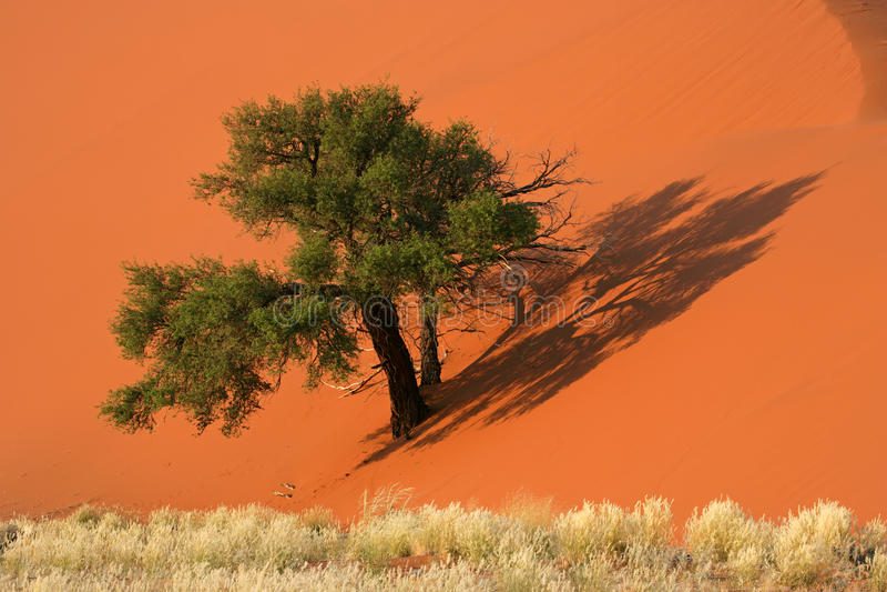 Dune, tree and grass, Sossusvlei, Namibia stock photo