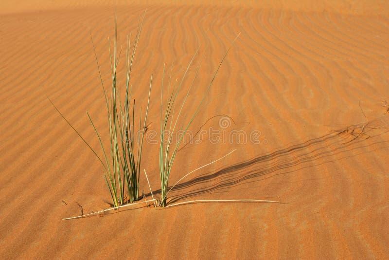 Download Dune Vegetation stock photo. Image of arabia, vegetation - 22986670