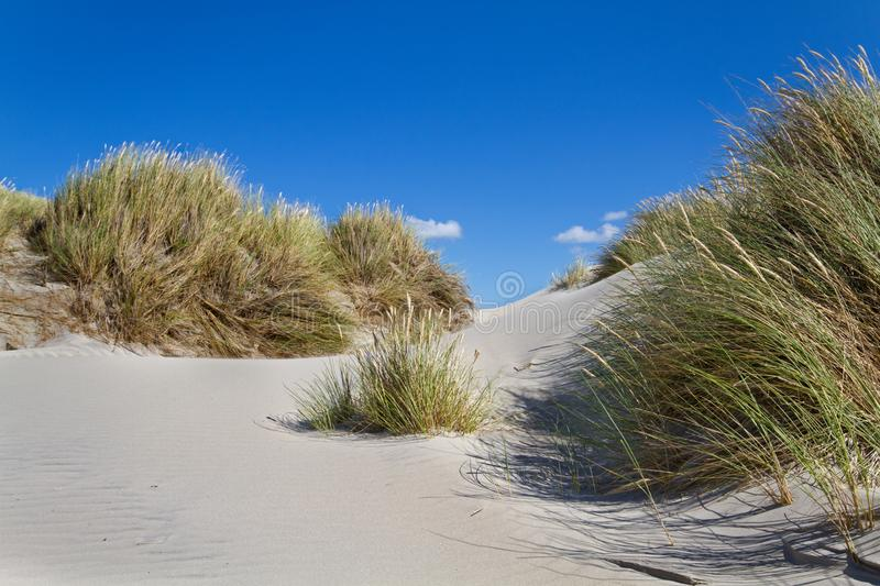 Dunes with Beachgrass. Dunes grown with Beachgrass on a windy day stock images