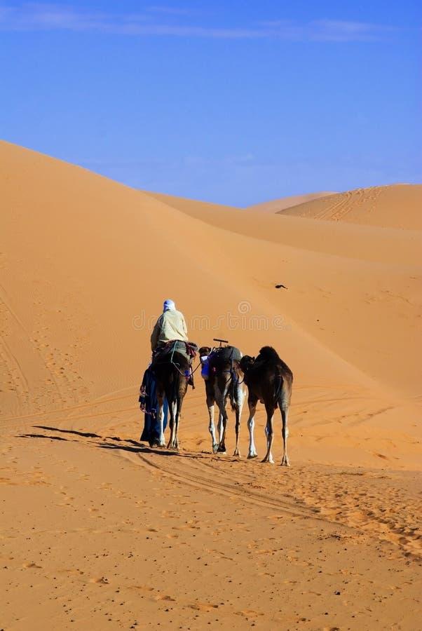 Dunes de conduite du Sahara et de chameau photos stock