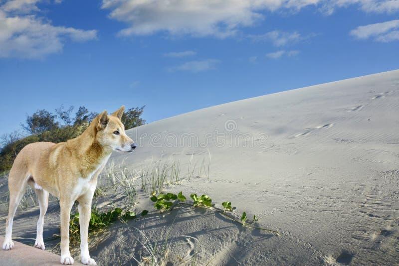 Dunes et dingo de sable sur l'île de fraser photos stock