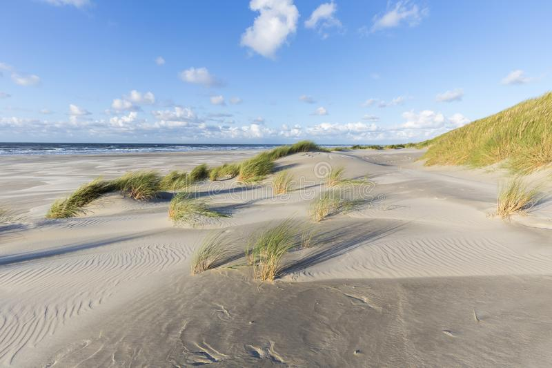 Dunes with European beachgrass in afternoon sun. Sand an marram waving in afternoon sun. Dunes and beach of Terschelling, Netherlands stock images
