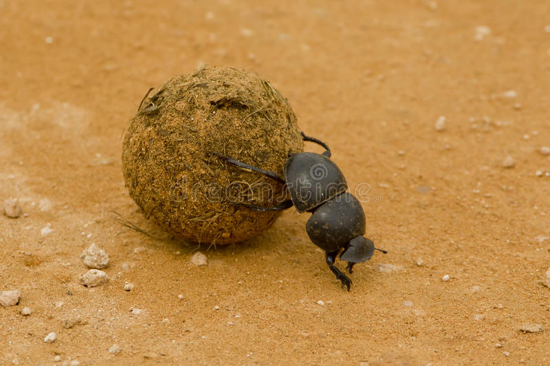 Dung beetle. Large black dung beetle rolling some dung backwards royalty free stock photos