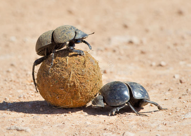 Dung Beetle. S pictured in South Africa royalty free stock photo
