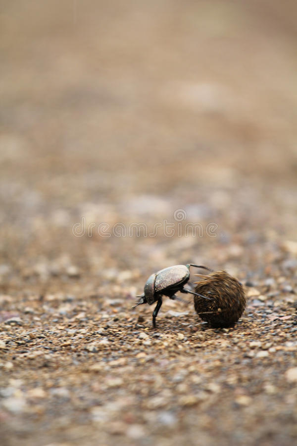 Dung Beetle Stock Photography