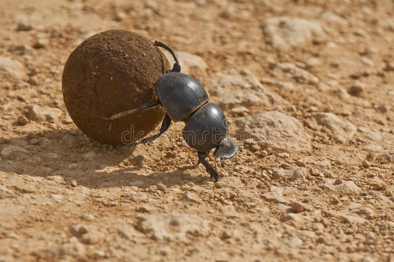 Dung beetle. Rolling some dung in the early morning sun royalty free stock photography