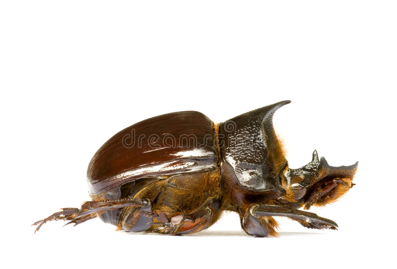 Dung Beetle. Isolated macro image of a large Dung Beetle, known scientifically as Heliocorpris diminus, found at the tropical rainforest of Cameron Highlands stock images
