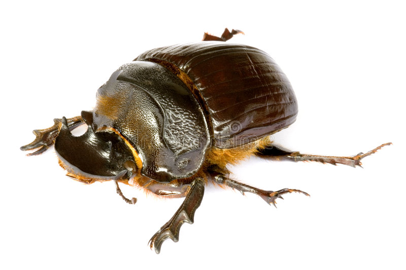 Dung Beetle. Isolated macro image of a large Dung Beetle, known scientifically as Heliocorpris diminus, found at the tropical rainforest of Cameron Highlands royalty free stock image