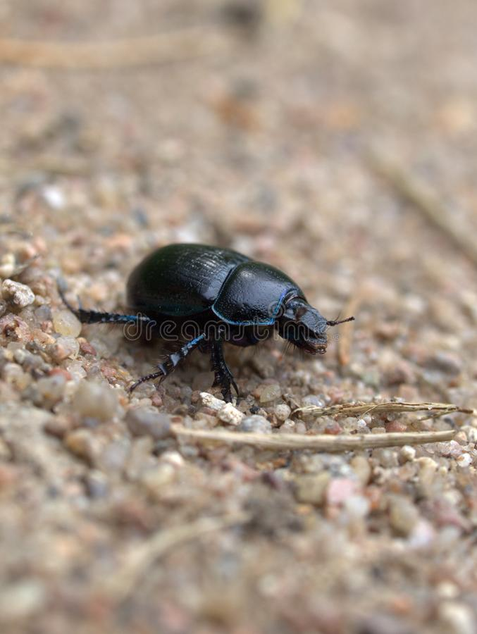 Download Dung beetle stock photo. Image of creeping, macro, dung - 9807344