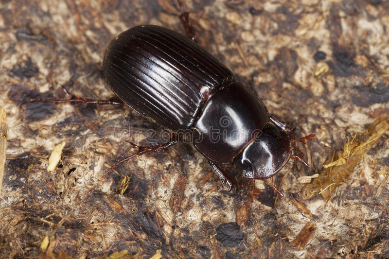 Download Dung Beetle (Aphodius Rufipes) Stock Image - Image of animal, dung: 10821457