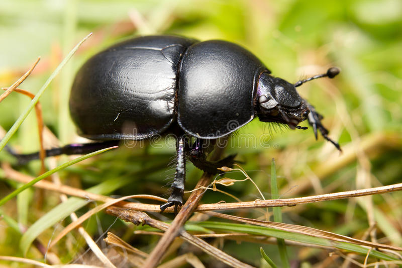 Dung beetle. Close-up of an earth-boring dung beetle (Geotrupidae) on the forest floor royalty free stock photography