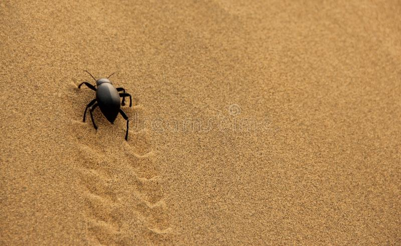 A Dung Beetle in the desert. A Dung Beetle crawling in the yellow sands of the Thar Desert, India royalty free stock photo