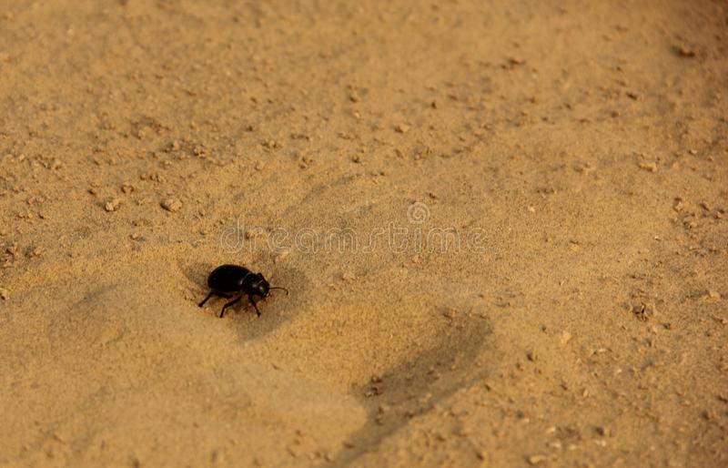 A Dung Beetle in the desert. A Dung Beetle crawling in the yellow sands of the Thar Desert, India stock image