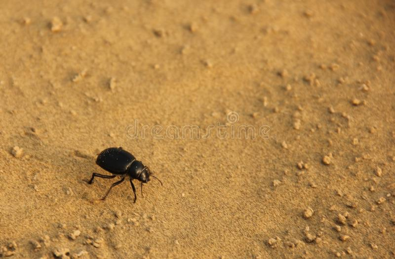 A Dung Beetle in the desert. A Dung Beetle crawling in the yellow sands of the Thar Desert, India stock photos