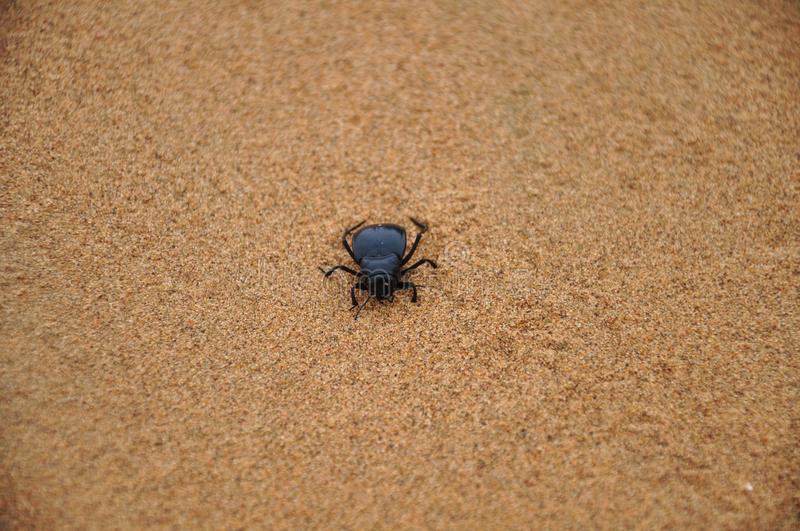 Dung beetle in Desert. Background royalty free stock photos