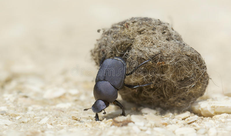 Dung beetle with dung ball. An industrious beetle toils in the baking Florida sun to move its prized dung ball to a safe spot stock photography
