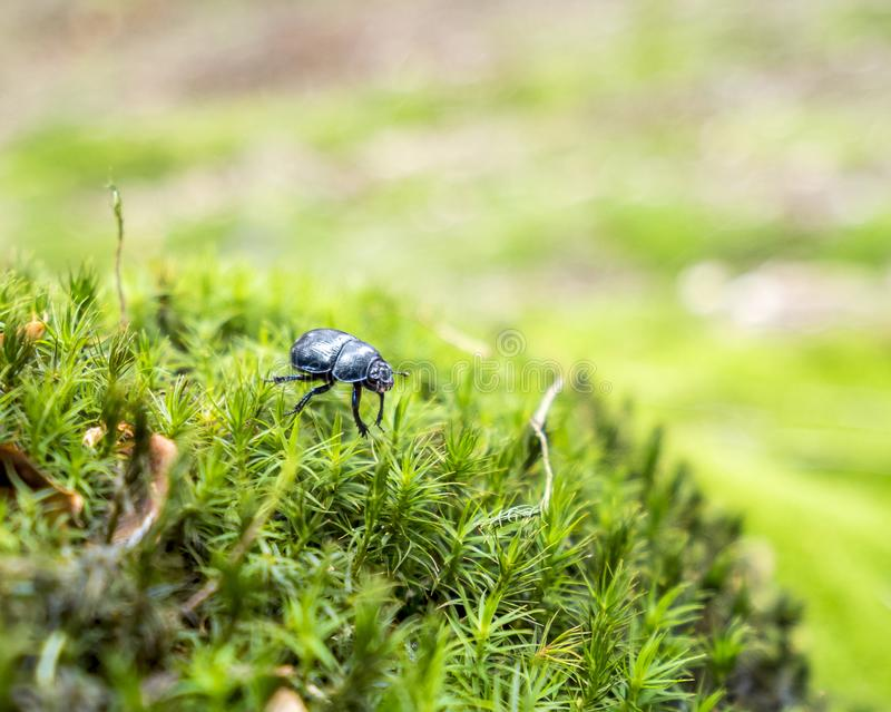 Forest dung beetle. Dung beetle in mossy ambiance royalty free stock photography