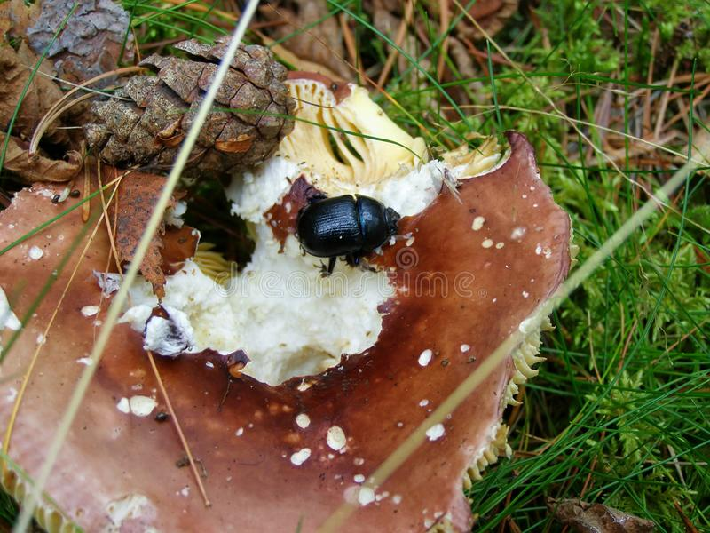 Dung beetle on mushroom stock image
