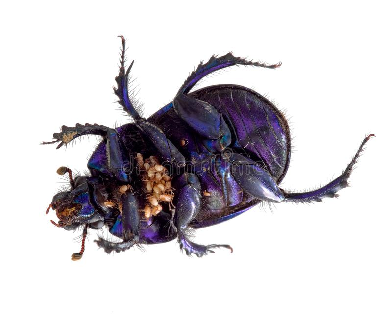 Dung beetle with parasitic mites, underside. Italy. stock photos