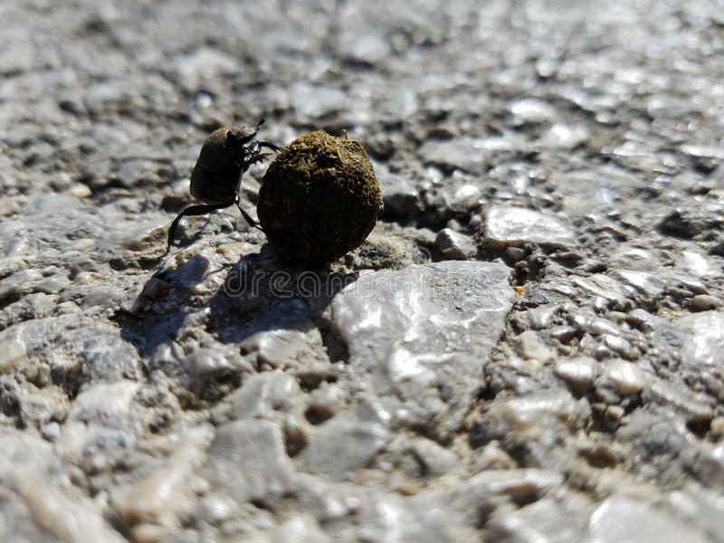 Dung beetle roller. Dung beetles, known as rollers, roll dung into round balls, which are used as a food source or breeding chambers. Research shows that dung royalty free stock images