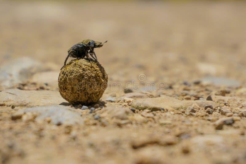 Dung Beetle, Schildvleugelige royalty-vrije stock fotografie