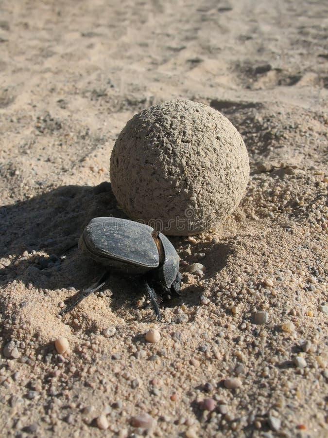 Dung beetle Synapsis tmolus stock photos