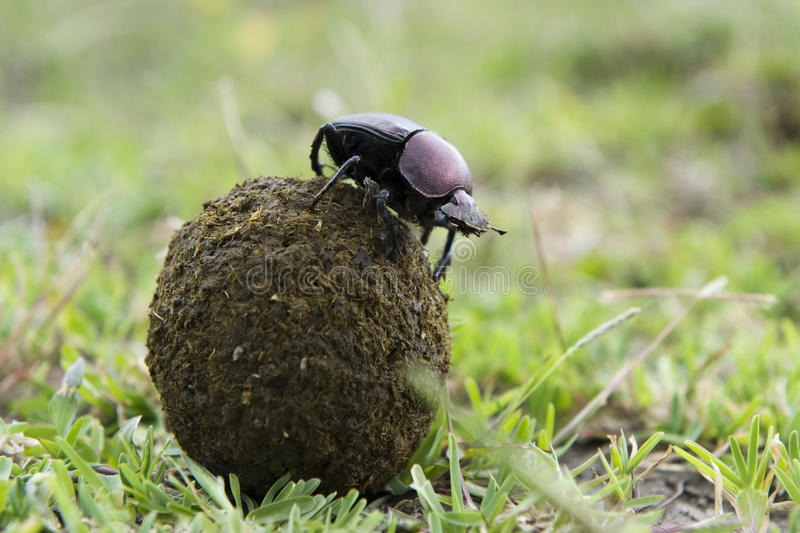 Dung Beetle. On top of a ball of droppings stock photos