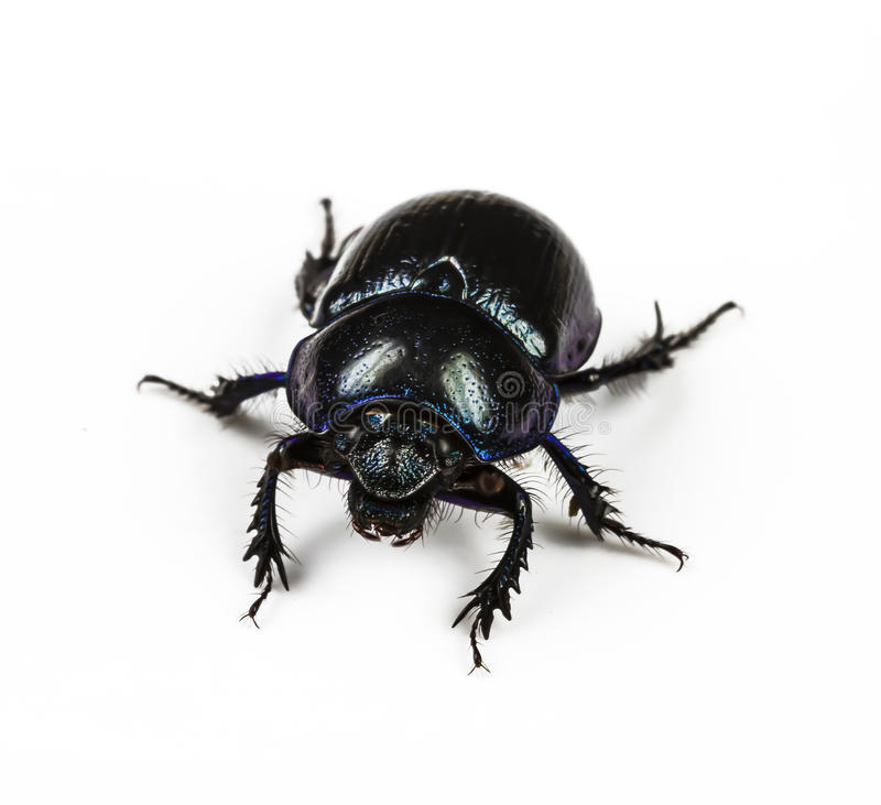Dung Beetle violet black. On white background stock photography