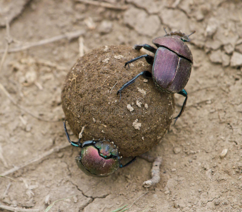 Dung Beetles. Two dung beetles rolling ball of dung royalty free stock photography