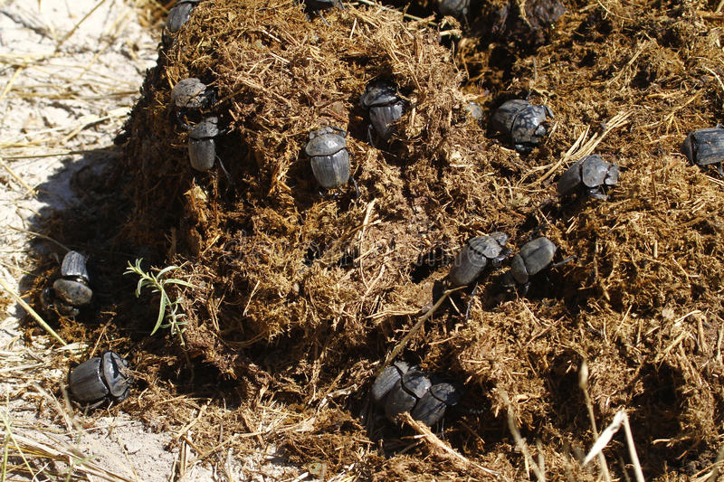Dung Beetles Feasting. Feasting Dung Beetles on fresh elephant dung royalty free stock photos